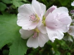 Oregon Checkermallow