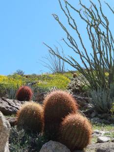 Barrel cactus & ocotiilo